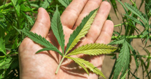 Marihuana medyczna | Dyskusja Ogólna